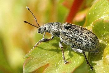 Curculionidae ENT 425 General Entomology Resource Library