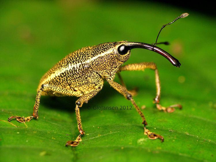 Curculionidae Posando para la foto Familia Curculionidae Coleoptera Flickr