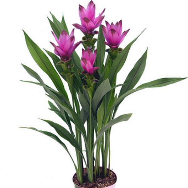 Curcuma alismatifolia Siam Tulip Curcuma alismatifolia Pick Ontario