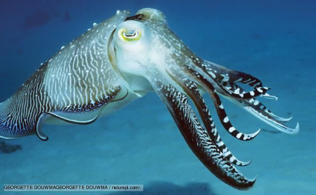 Cuttlefish BBC Nature Sepia cuttlefish videos news and facts
