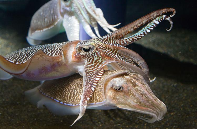 Cuttlefish Cuttlefish Wikipedia