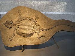 Cyamodus httpsuploadwikimediaorgwikipediacommonsthu