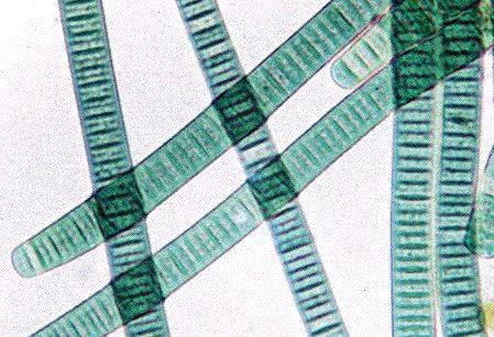Cyanobacteria Introduction to the Cyanobacteria