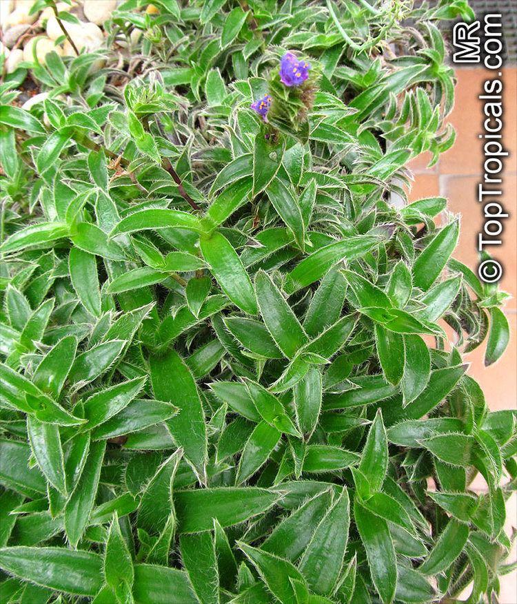 Cyanotis somaliensis Cyanotis somaliensis PUKUBOOK