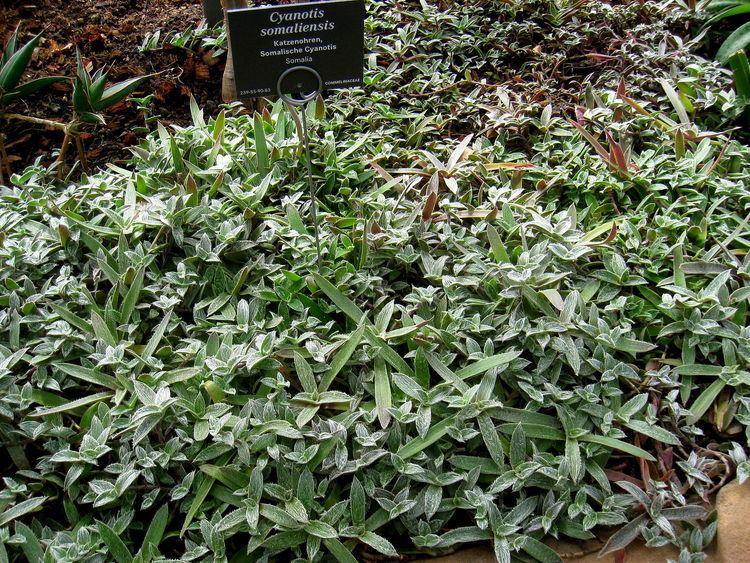 Cyanotis somaliensis Cyanotis somaliensis Wikipedia