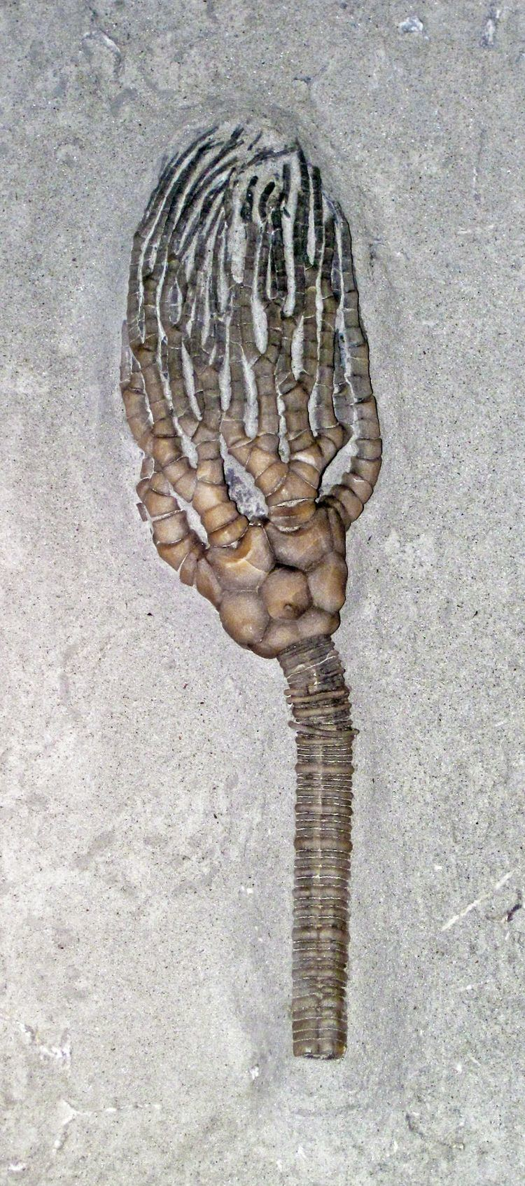 Cyathocrinites Cyathocrinites Wikipedia