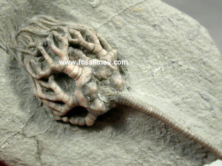 Cyathocrinites Cyathocrinites