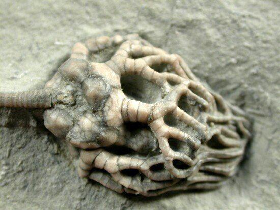 Cyathocrinites Cyathocrinites harrodi Crawfordsville Crinoid
