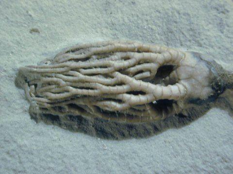 Cyathocrinites Cyathocrinites multibrachiatus Crawfordsville crinoid