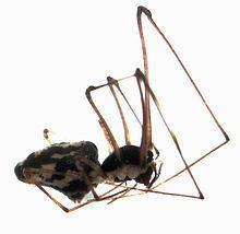 Cyatholipidae httpsuploadwikimediaorgwikipediacommonsthu