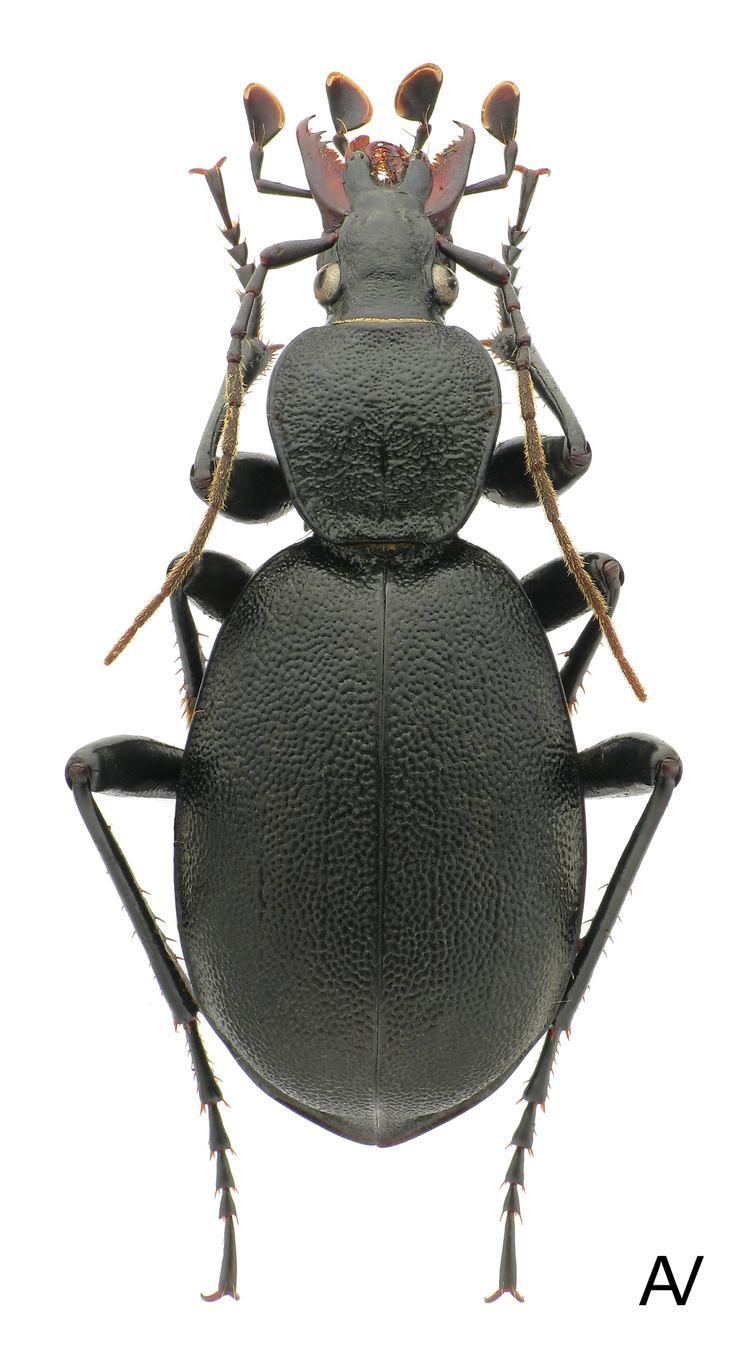 Cychrus carabidaeorgcarabidaeCychrus20Cychrus20carabo