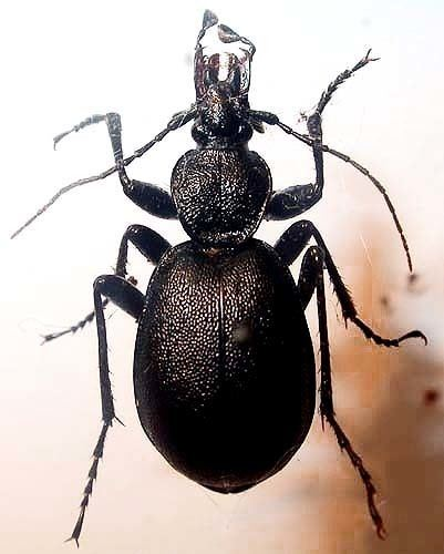 Cychrus Cychrus caraboides L 1758