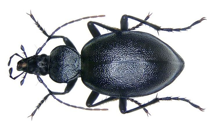 Cychrus Cychrus caraboides