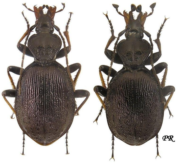 Cychrus Subgenus Cychrus sensu stricto Carabidae
