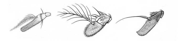 Cyclorrhapha Antennae shape Zurqui AllDiptera Biodiversity Inventory