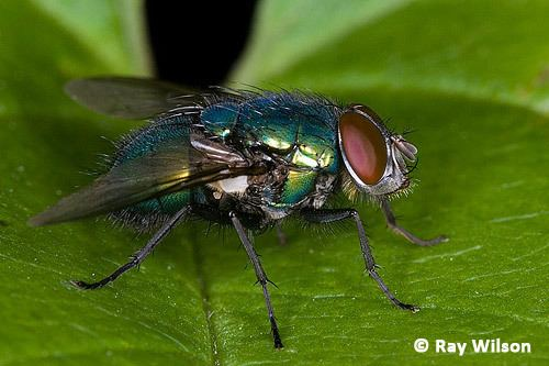 Cyclorrhapha Ray Wilson39s Bird amp Wildlife Photography Home Page amp Recent Updates