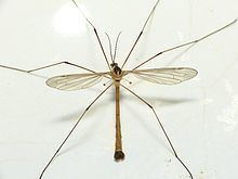 Cylindrotoma httpsuploadwikimediaorgwikipediacommonsthu