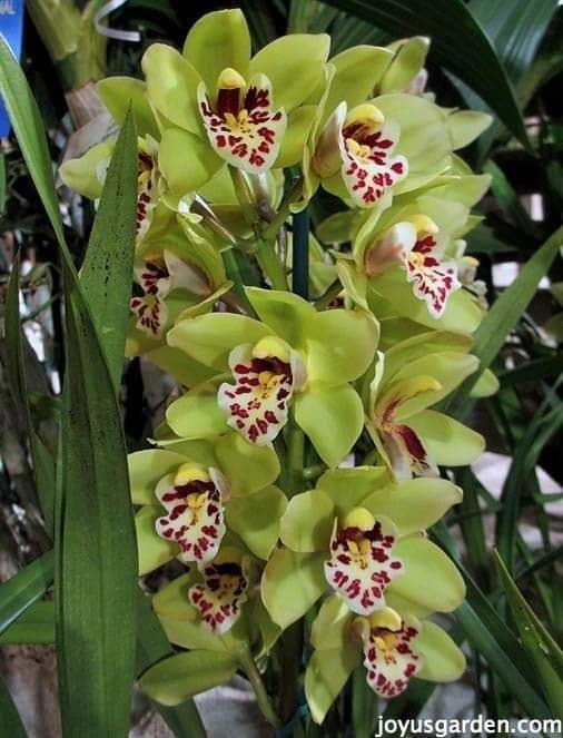 Cymbidium Cymbidium Orchid Care