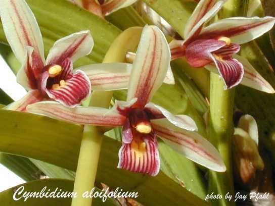 Cymbidium aloifolium IOSPE PHOTOS