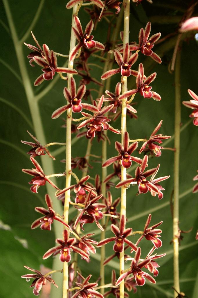 Cymbidium aloifolium aloifolium