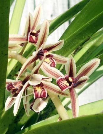 Cymbidium aloifolium Cymbidium aloifolium