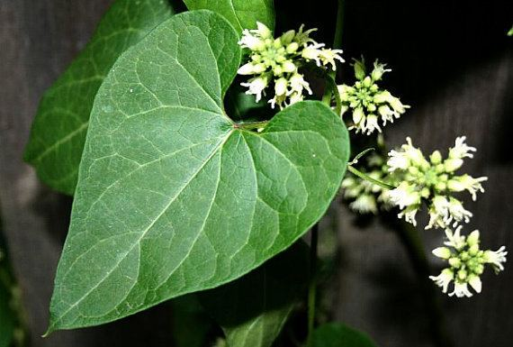 Cynanchum laeve Honeyvine Milkweed 10 seeds Sandvine Cynanchum laeve by SmartSeeds