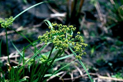 Cyperus difformis Cyperus difformis IRRI Rice Knowledge Bank