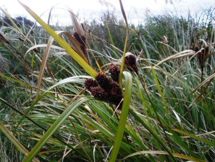 Cyperus ustulatus uploadwikimediaorgwikipediacommonsbb5Cyperu