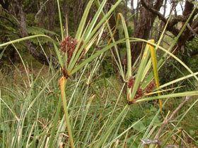 Cyperus ustulatus Cyperus ustulatus New Zealand Plant Conservation Network