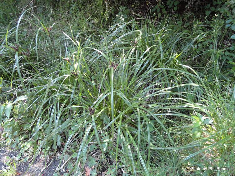 Cyperus ustulatus TERRAIN Taranaki Educational Resource Research Analysis