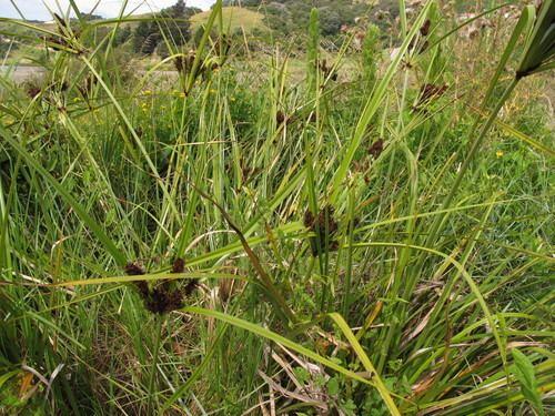 Cyperus ustulatus Giant Umbrella Sedge observed by melissahutchison on January 4