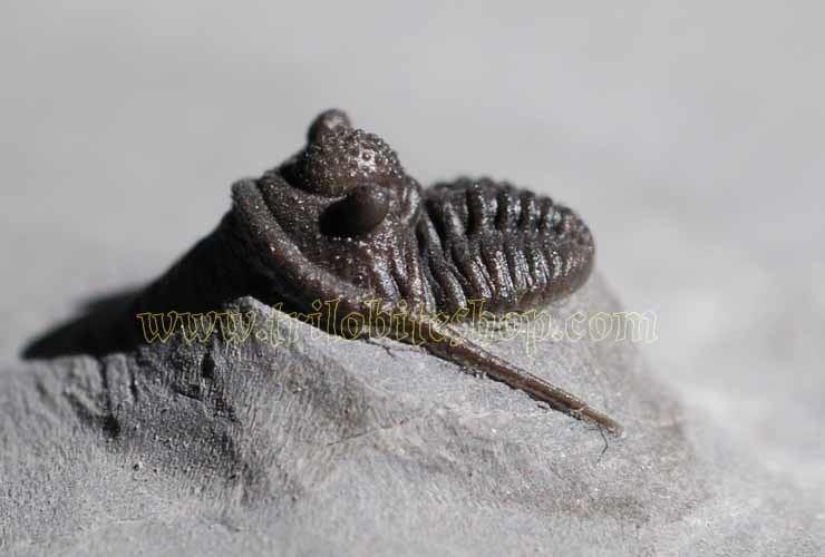 Cyphaspis cyphaspis trilobite for sale