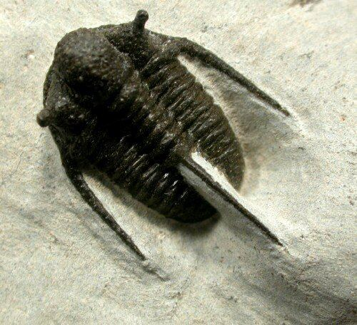 Cyphaspis Cyphaspis Moroccan Trilobite