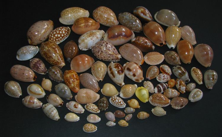 Cypraea Cypraea A medley of smaller Cowries Cypraea spp Cypraei Flickr