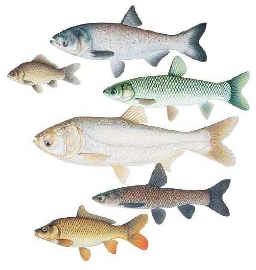 Cyprinidae 68mediatumblrcom1dddf4cf6ca869b9f649463da6fbdd