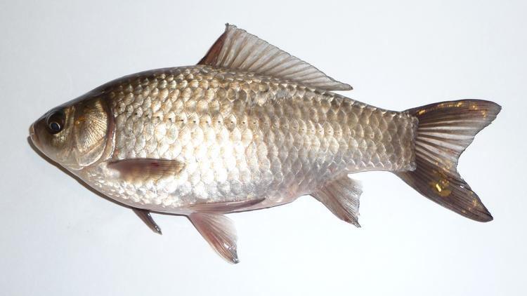 Cyprinidae Cyprinidae Carp and Chub at Grand Valley State University StudyBlue