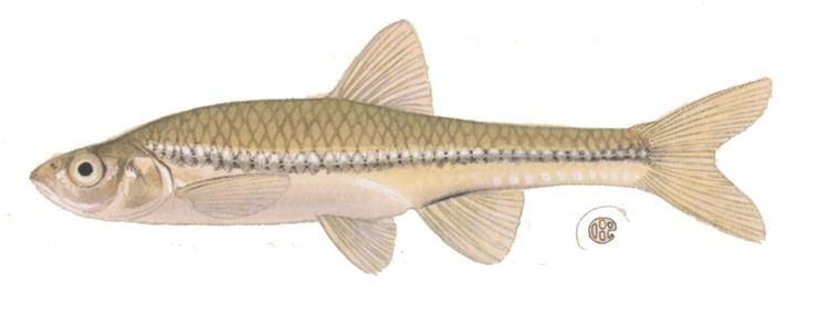 Cyprinidae Minnow Family Cyprinidae