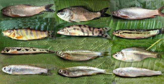 Cypriniformes Classification of Cypriniformes BdFISH Feature