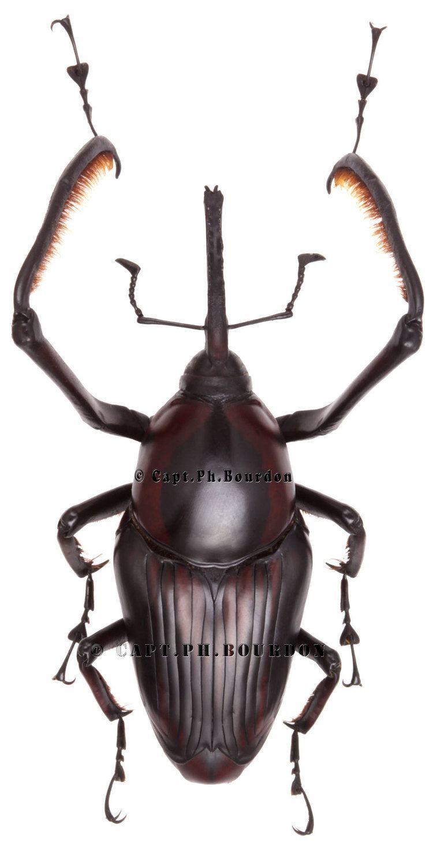 Cyrtotrachelus Cyrtotrachelus sp01 ColeopteraAtlascom