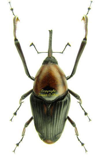 Cyrtotrachelus Cyrtotrachelus longimanus