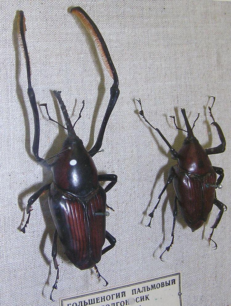 Cyrtotrachelus Cyrtotrachelus Wikipdia