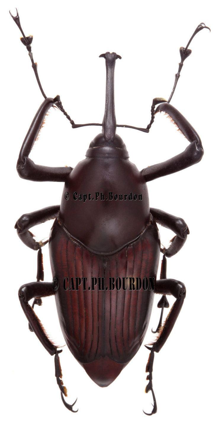 Cyrtotrachelus Cyrtotrachelus sp02 ColeopteraAtlascom