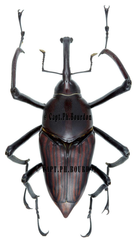 Cyrtotrachelus Cyrtotrachelus dux ColeopteraAtlascom
