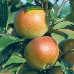 Dabinett Buy Cider Apple Dabinett Apple Tree Online Marshalls Seeds