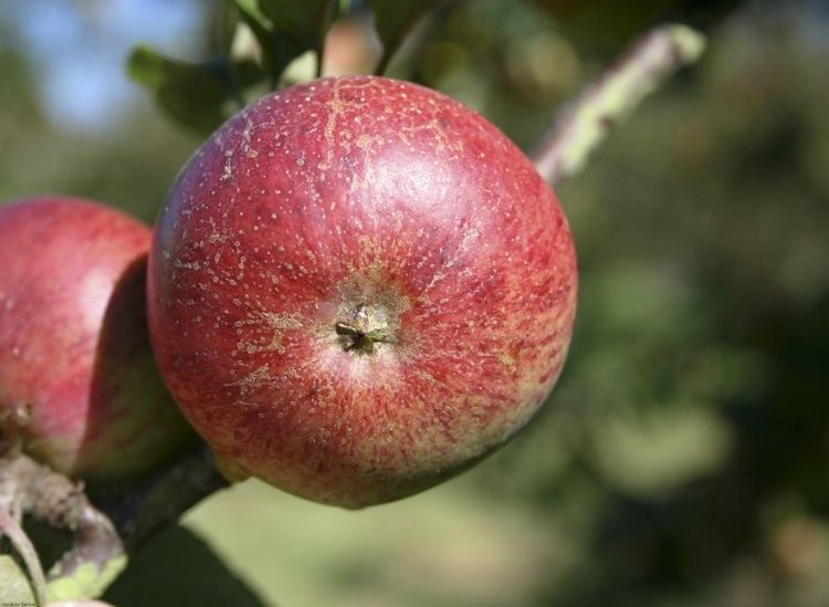 Dabinett Item Devon Apples Informative Apple and Fruit Resource