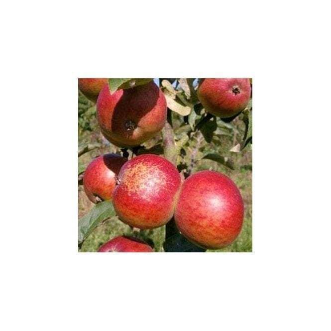 Dabinett Apple Dabinett Buy Apple Trees Buy Cider Apple Trees