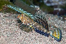 Dactylopus kuiteri httpsuploadwikimediaorgwikipediacommonsthu