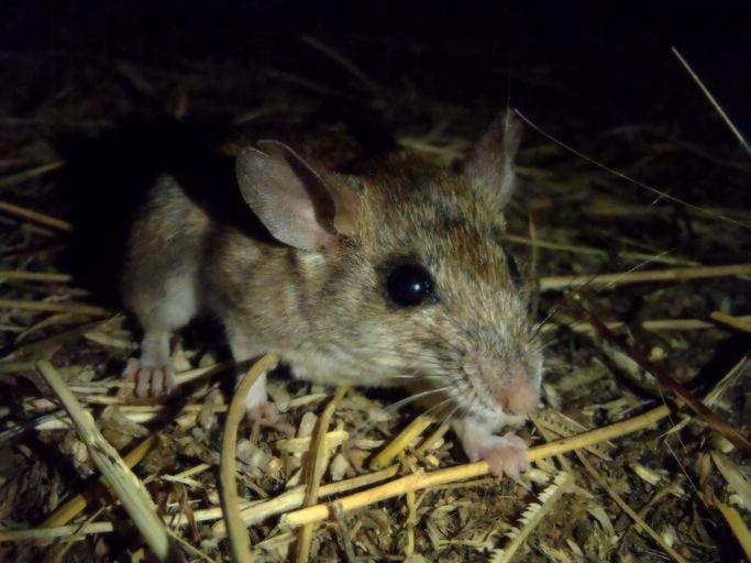 Dalton's mouse