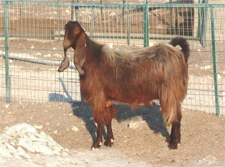 Damascus goat Damascus Goat Breed Profile Information SheepFarmin SheepFarmin