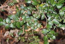 Damnacanthus httpsuploadwikimediaorgwikipediacommonsthu